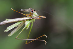 Image of an robber fly& x28;Asilidae& x29; Royalty Free Stock Images