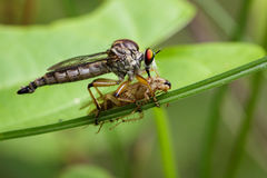 Image of an robber fly eating prey on green leaves. Stock Image