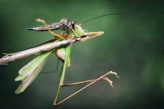 Image of an robber flyAsilidae eating grasshopper. Royalty Free Stock Photo