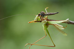 Image of an robber flyAsilidae eating grasshopper. Royalty Free Stock Photos
