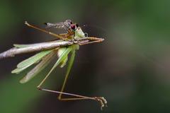 Image of an robber flyAsilidae eating grasshopper. Stock Photos