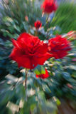 The image of a rose with effect of the movement. The image of a red rose with effect of the movement Stock Image