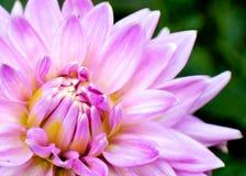 Image rose renversante de plan rapproché de fleur Photo stock