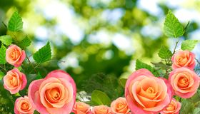 Image of roses on green background. Isolated image of roses on green background Royalty Free Stock Images
