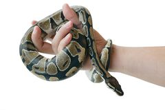 The image of the royal or ball python on the hand of man stock photography