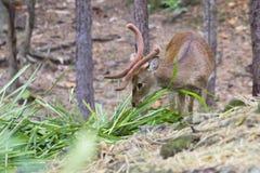 Image of a sambar deer munching grass. Image of a sambar deer munching grass in the forest royalty free stock photography