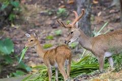 Image of a sambar deer munching grass. Image of a sambar deer munching grass in the forest stock photos