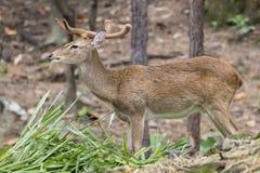 Image of a sambar deer munching grass. Image of a sambar deer munching grass in the forest stock photo