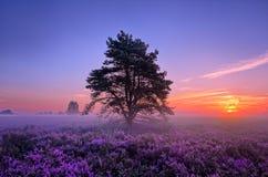 Image scénique de lever de soleil au-dessus de bruyère rose de floraison Images libres de droits
