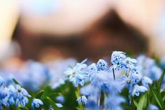 Image of Scandinavian spring with beautiful blue scilla siberica flowers with defocused wooden house on background stock photography
