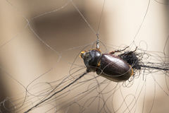 Image of a scarab trapped in the mesh. Stock Photos