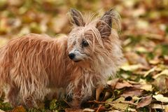 Scruffy Little Puppy. An image of a scruffy but cute little dog playing with a green dog toy in the autumn leaves royalty free stock images