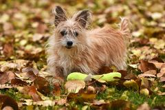 Scruffy Little Puppy. An image of a scruffy but cute little dog playing with a green dog toy in the autumn leaves stock images