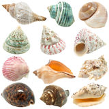 An image of seashells on white background Stock Image