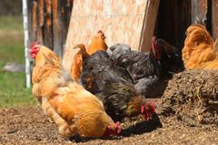 Free Range Chickens. An image of several free range chickens in an open barnyard royalty free stock photo