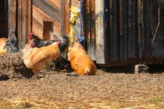 Free Range Chickens. An image of several free range chickens in an open barnyard stock photos