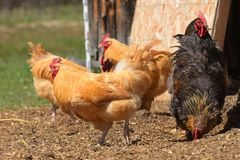 Free Range Chickens. An image of several free range chickens in an open barnyard stock photo