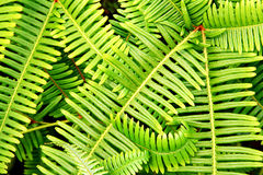 Close view of fern fronds Stock Images