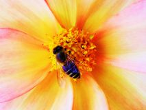 A Honey Bee kissing a beautiful flower. This image share the unique angle of beauty of flower and Honey bird.How ladybird is exploring the flowers prettiness stock photography