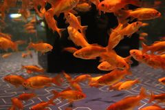 Shoal of goldfish stock image