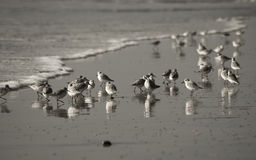 Image of shorebirds during low tide Royalty Free Stock Photography