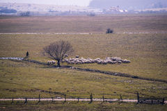 Sheep. Image showing a flock of sheep on a green field in spring Stock Photography