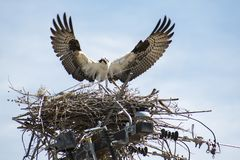 Nestbuilding Osprey or Seahawk stock images