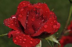 Appealing red rose in fresh dew drops royalty free stock images