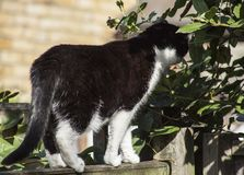 Black and white cat sniffing some leaves. This image shows a black and white cat in a garden on a sunny day. It is sniffing some leaves stock photos