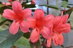 Blooming Tropical Red Rhododendron flower. Image shows a burst of red blooming rhododendron within botanical greenery Stock Images