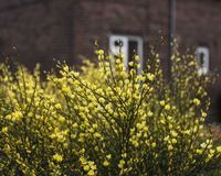 Yellow bush on a cloudy day. This image shows a bush with yellow flowers. It was taken on a dark, cloudy day in spring 2018 royalty free stock photos