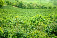 Coffee Plantation in Jerico, Colombia royalty free stock photos