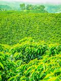 Coffee Plantation in Jerico, Colombia stock photography