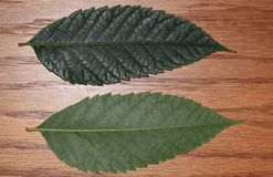 Pinnate leaf of Koelreuteria paniculata or Goldenrain tree. Image shows the front and back side of pinnate leaf of Koelreuteria paniculata or Goldenrain tree, a Royalty Free Stock Photos