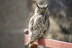 Great Horned Owl on a Railing stock image