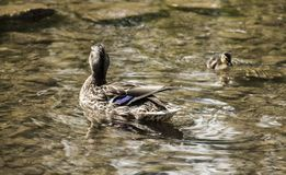 Ducks - mom and a baby, Bakewell, England. This image shows a lake with some ducks. It was taken in Bakewell, England. It was taken in April 2018 Stock Photo