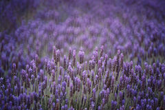 Lavender field. Image shows a lavender field Stock Photos