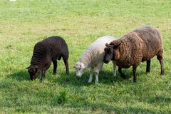 Mother sheep with two feeding lambs on a green meadow royalty free stock image