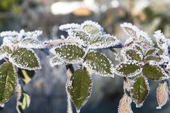 Plants with frosted seeds Stock Photo