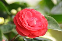 Red blooming camellia flower within greenery. Image Shows a red blooming camellia flower within greenery. In the back is Tropical greenery and some buds Stock Photography