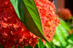 Red spike flower with its leaf stock photo