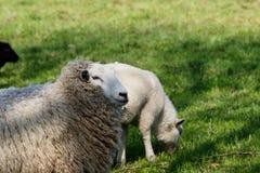 Sheep and lamb feeding on a green pasture royalty free stock image