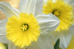 Large blooming daffodil flowers in a hertfordshire village. Image shows sia fully opened daffodil flower with its bright yellow stigma and white petals, tewin royalty free stock images