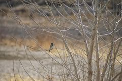 Small Bird Perched on the Branches of a Barren Aspen. Image shows a small bird, possibly Junco perching on the slim and slender branches of a winter barren Aspen royalty free stock image