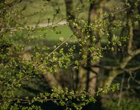 Fresh leaves on small branches, spring time. royalty free stock photos