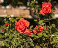 Red roses on a sunny day. This image shows some red roses in sunlight. It was taken in August 2018 stock images
