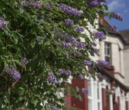 London - a bush with violet flowers. This image shows a street in London - it focuses on a bush with some violet flowers Royalty Free Stock Image