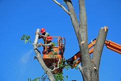 Tree trimmers prunning branches high up in an Ash tree. Royalty Free Stock Images