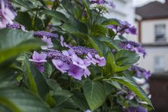 Summer in London - s bush of violet flowers and green leaves. This image shows a view of a bush full of violet flowers in one of the parks of London, England royalty free stock image