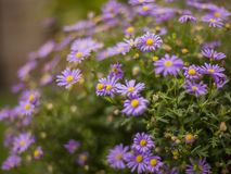Sunny day in London, England - violet flowers with yellow centres. This image shows a view of a bush with some violet flowers with yellow centers in a garden in royalty free stock images